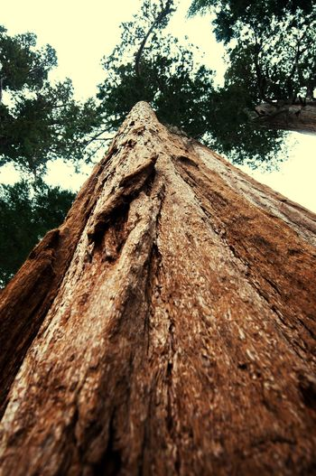 EyeEm Nature Lover Redwoods Tree Mammuttree From My Point Of View From Below Wood Forrest Mammutbaum Mammutbaum Ganz Klein To The Sky Looking Up No People EyeEm EyeEm Gallery Eyemphotography Trees TreePorn Tree_collection