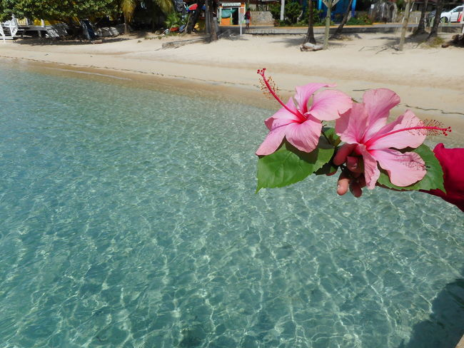 Honduras Roatan Bay Islands Beauty In Nature Close-up Day Flower Flower Head Fragility Freshness Growth Nature No People Outdoors Petal Pink Color Plant Swimming Pool Water
