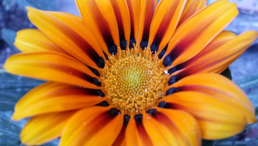 Flower Head Flower Gazania Petal Pollen Springtime Orange Color Close-up Blooming Plant