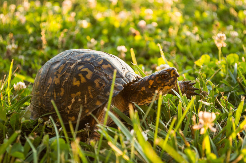 Animal Animal Markings Animal Themes Animal Wildlife Beauty In Nature Close-up Day Field Focus On Foreground Grass Grassy Green Green Color Growth Mammal Nature No People Outdoors Park, Turtle, Grassland, Reptile, Box Turtle, Nature, Plant Selective Focus Wildlife