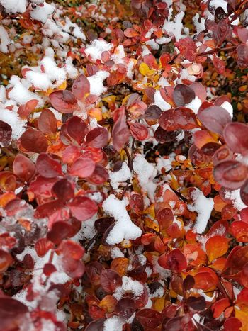 Fall Leaves In The Snow ❄ Outdoors Colorful Perspectives On Nature Shades Of Winter
