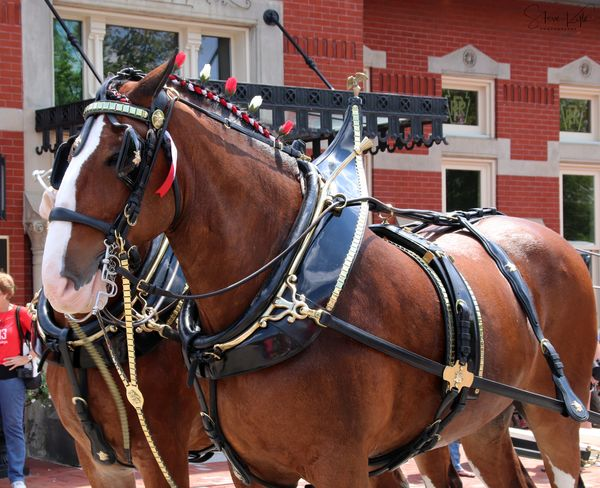 Anheuser-Busch Clydesdales Animal Themes Architecture Building Exterior Built Structure Close-up Day Domestic Animals Horse Horse Cart Horsedrawn Mammal No People Outdoors