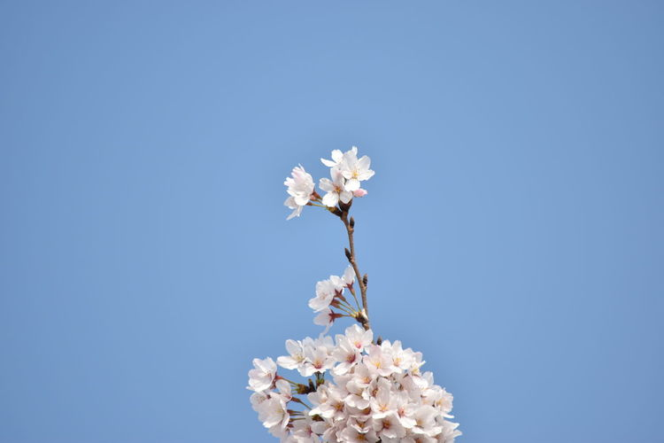 Low Angle View Of White Flowers Blooming On Tree Against Clear Blue Sky
