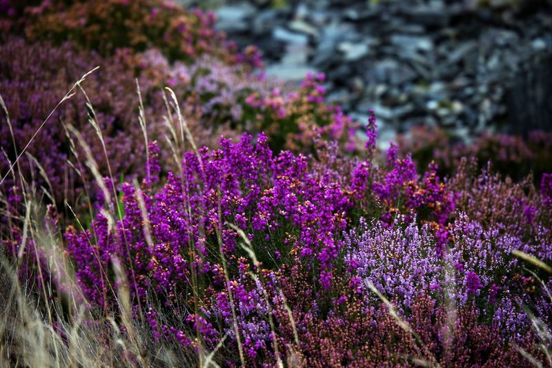 Flower Flowering Plant Purple Beauty In Nature Plant Growth Nature Freshness Vulnerability  Fragility Selective Focus Field Close-up Pink Color Focus On Foreground Flowerbed Heather Evergreen Creeping Small Shrub Evergreen Northern Or Mountain Shrub Mountain Shrub Autumn Honey Plant