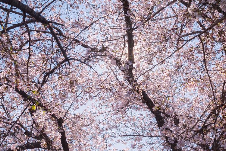 Sakura and the