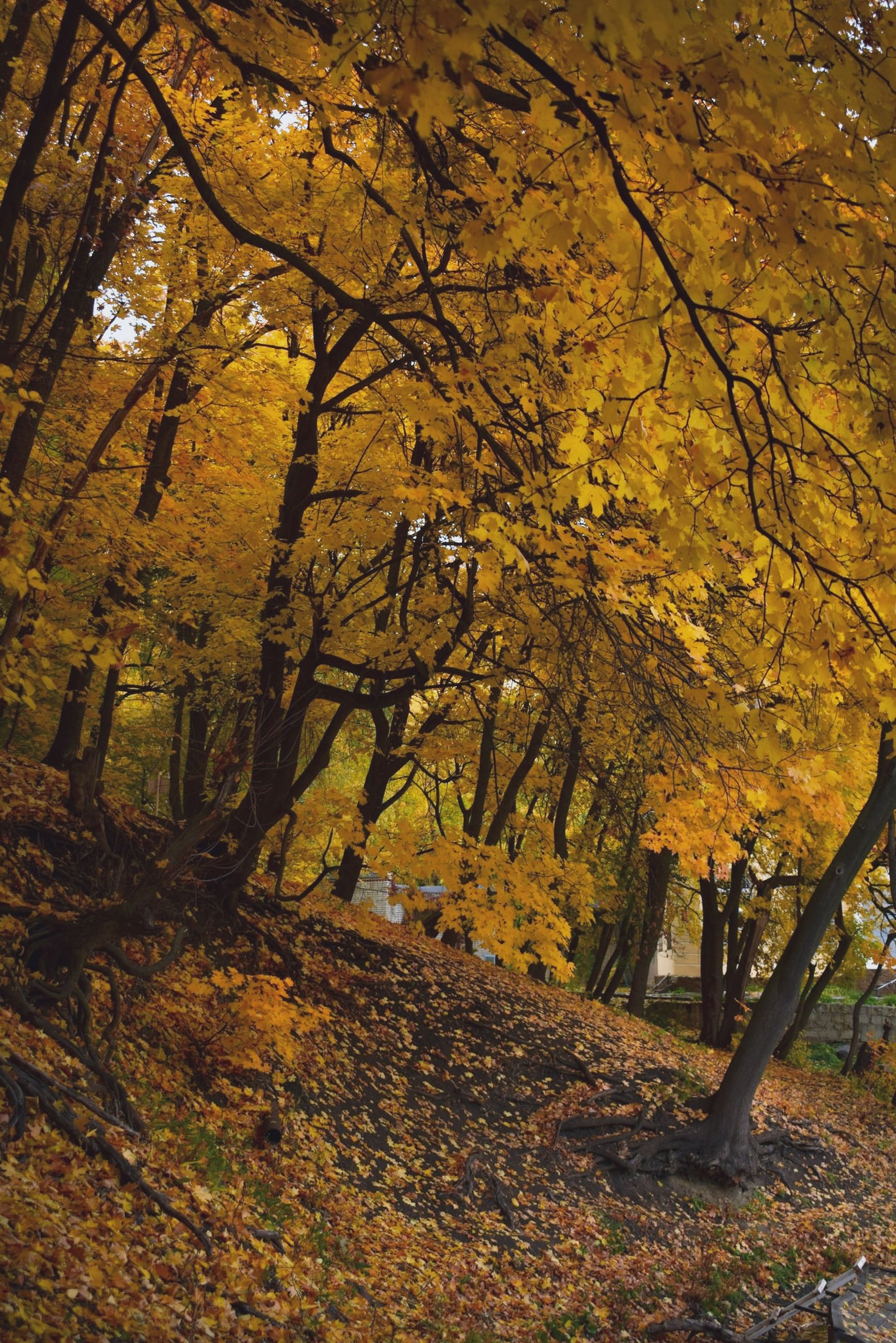 autumn, tree, change, plant, leaf, plant part, nature, land, beauty in nature, orange color, forest, tree trunk, branch, trunk, yellow, growth, day, no people, tranquility, scenics - nature, outdoors, autumn collection, woodland, fall, leaves, natural condition