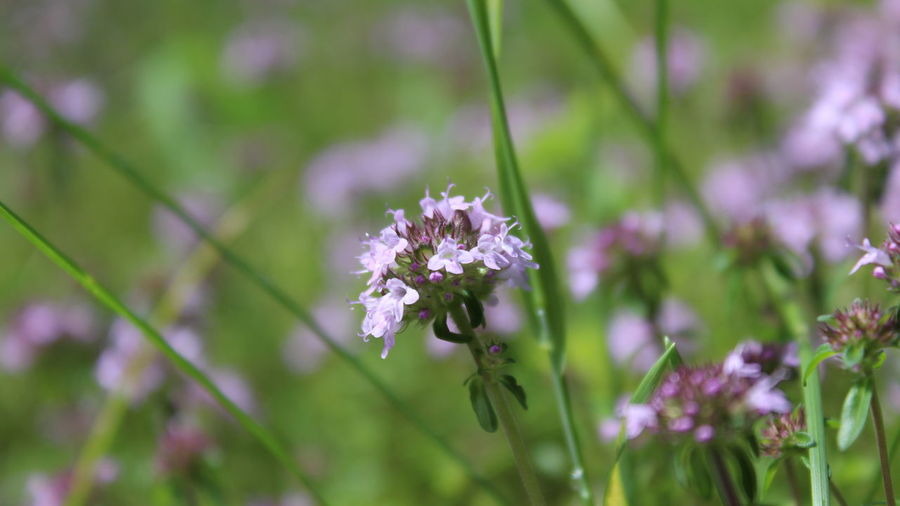 Beauty In Nature Blooming Close-up Day Flower Flower Head Fragility Freshness Growth Nature No People Outdoors Wild Herbs Wild Thyme