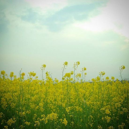 대저유채꽃축제 유채꽃 . . . .Photography Photographer 부산 Busan Spring Flower 일상 데일리 감성 감성사진 사진 여행 일상공유 Sotong 미러리스 Sky Follow Followme Photo Travel Daily Southkorea