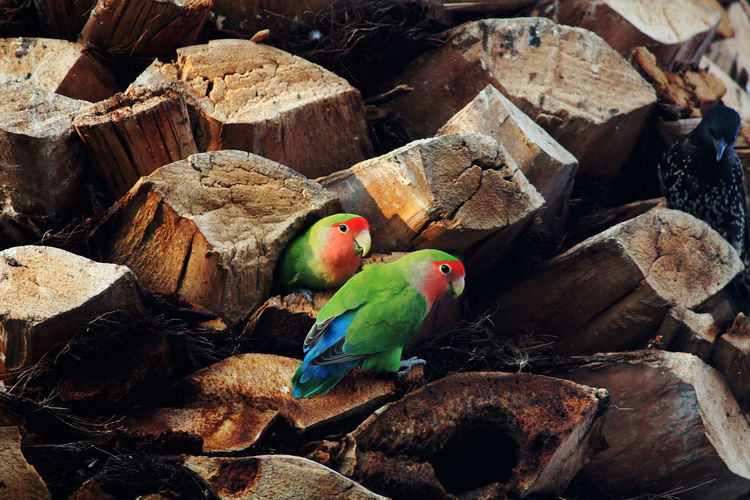 Parrots perching on wood