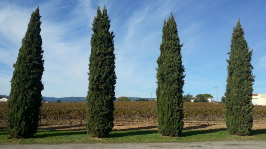 Cipreses y viñedos