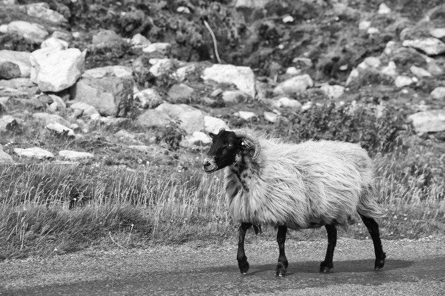 Animal Hair Animal Themes Black And White County Mayo Day Ewe Farming Farming Life Focus On Foreground Ireland Livestock Mammal Mayo Mountain Ewe Nature No People Old One Animal Outdoors Ovine Sheep Side View Slow Pace Tranquility Wild Atlantic Way