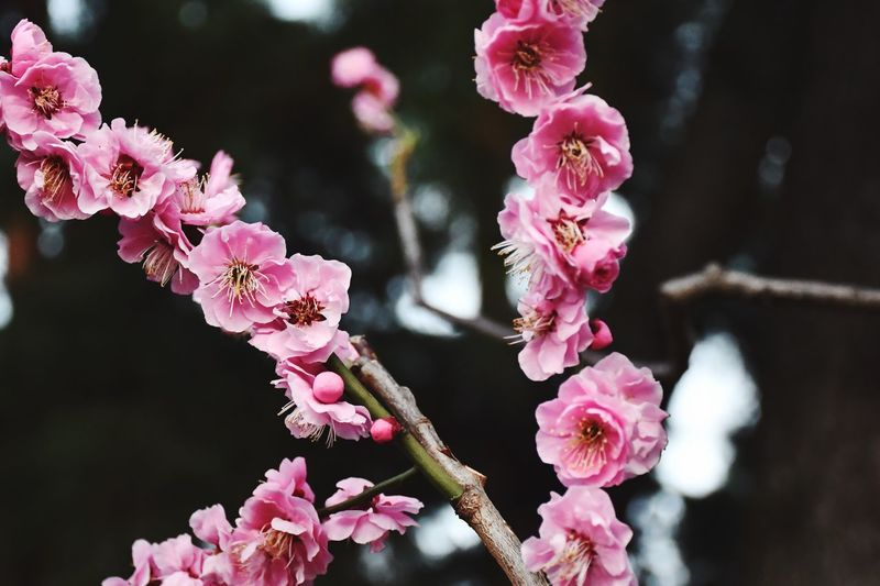 Japanese Plum Blossom Plum Blossom EyeEm Best Shots - Nature EyeEm Best Shots - Flowers Flower Flowering Plant Plant Pink Color Fragility Vulnerability  Growth Freshness Close-up Flower Head Blossom Branch Day Springtime