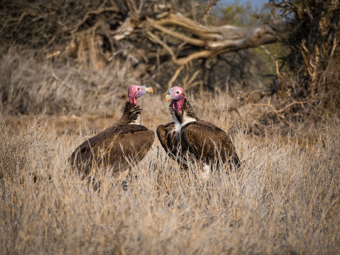 Two vultures with colorful heads standing in high dry grass, kruger national park, south africa