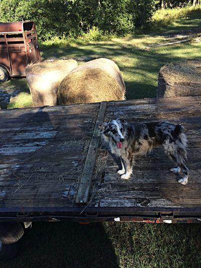 Bella on the hay trailer. ?? Dog Countryside Farm