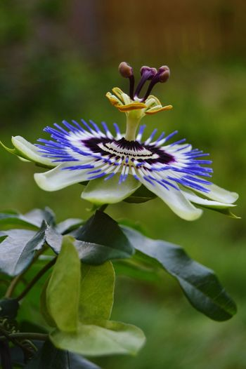 Flowers Flowers, Nature And Beauty Flower Photography Flowers,Plants & Garden Flowerphotography Purple Flower Purple Flowers Passion Flowers Beauty In Nature Nature Blue Flowers Nature Photography Flower Flower Head Plant Passion Flower