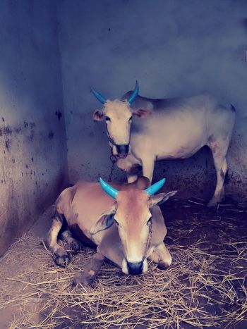 Cows🐮 Animal Themes Mammal Restingtime
