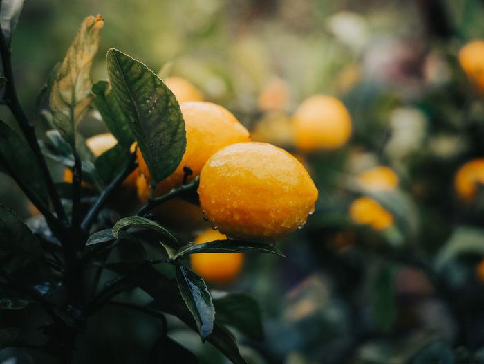 Close-up of lemons on tree