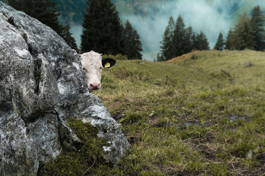 Switzerland Grass Rock Animal Themes Close-up Clouds Cow Curious Cow Day Domestic Animals Field Fog Grass Hiding Livestock Mammal Mist Nature No People One Animal Outdoors Sky Swiss Alps Swiss Mountains Tree Young Cow