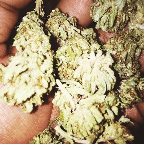 Loud Dank Thc Herb Dank Weed Gonga Potent Marijuana Weed Selfmade Faded CBD CBD THC Iphone 6 Plus IPhoneography Iphonephotography Iphone6plus Iphone6plusphotos IPhone Marijuanaphotosubmission