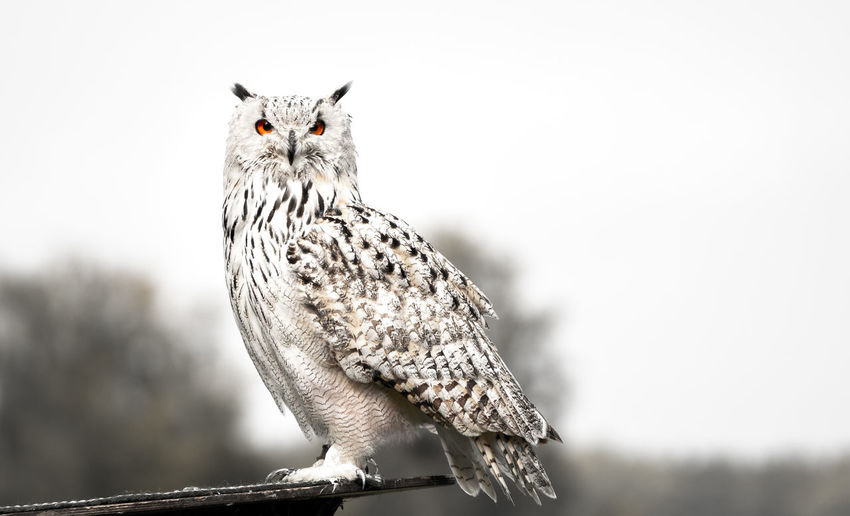 A snow owl portrait Animal Themes Animal Animal Wildlife One Animal Animals In The Wild Vertebrate Bird Focus On Foreground No People Bird Of Prey Nature Perching Sky Day Close-up Tree Portrait Copy Space Owl Outdoors Snow Owl Portrait