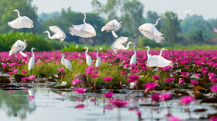 White herons flying and standing on lake have pink lotus blooming field around. Fly Heron White Field Blooming Blossom Lake Marine Lotus Pink Plant Flower Flowering Plant Nature Beauty In Nature Lake Water