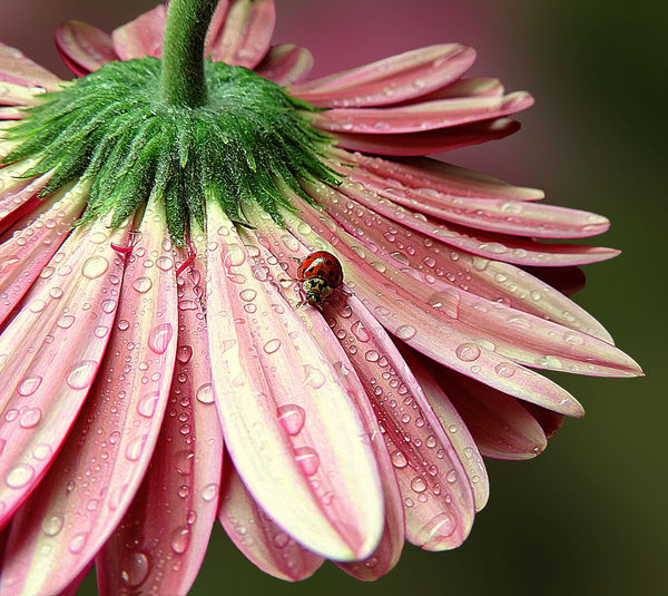 High angle view of ladybug on pink wet flower