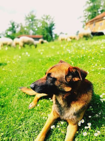 Malinois Dog Sheep Sheeps. Dog Pets Grass Domestic Animals One Animal Animal Themes Mammal Green Color Day Outdoors Front Or Back Yard No People Field Nature Tree