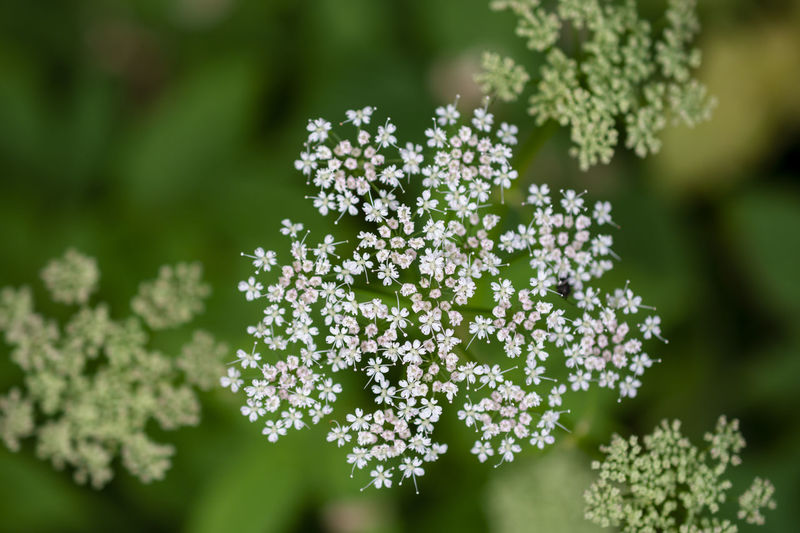 Aegopodium Podagraria Softness White Color Tranquility Outdoors Flower Head Inflorescence Focus On Foreground Green Color Day Nature No People Selective Focus Close-up Growth Freshness Fragility Flowering Plant Vulnerability  Flower Beauty In Nature Plant Ground Elder