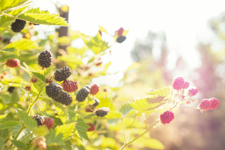 Sunlight Beauty In Nature Berry Fruit Blackberry - Fruit Close-up Day Focus On Foreground Food Food And Drink Fragility Freshness Fruit Growth Healthy Eating Large Group Of Objects Leaf Nature No People Outdoors Plant Plant Part Ripe Selective Focus Summer Vulnerability