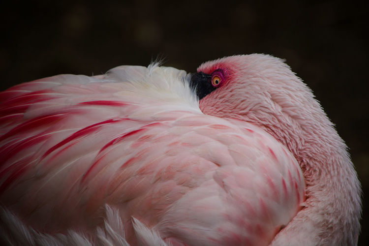 Close-up of a flamingo