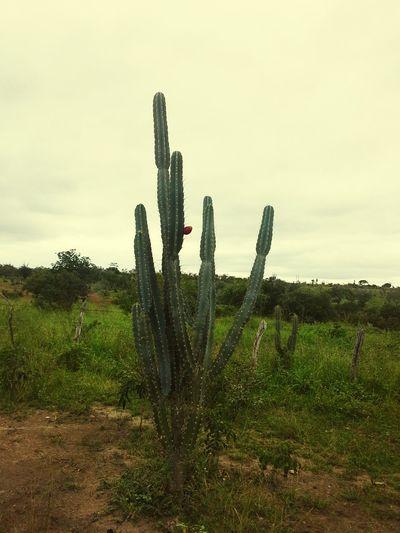 """""""mandacaru quando fulora na seca é o sinal que a chuva chegou no sertão..."""" Nilzanosertao LuizGonzaga"""