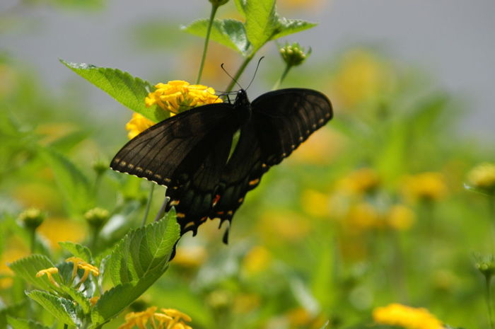 Butterfly Insect Animal Themes One Animal Animals In The Wild Butterfly - Insect Plant Animal Wildlife Nature Close-up Animal Wing No People Flower Fragility Beauty In Nature Butterfly Leaf Growth Day Pollination black Photographerinoz Kansas City Overland Park Kansas Ks