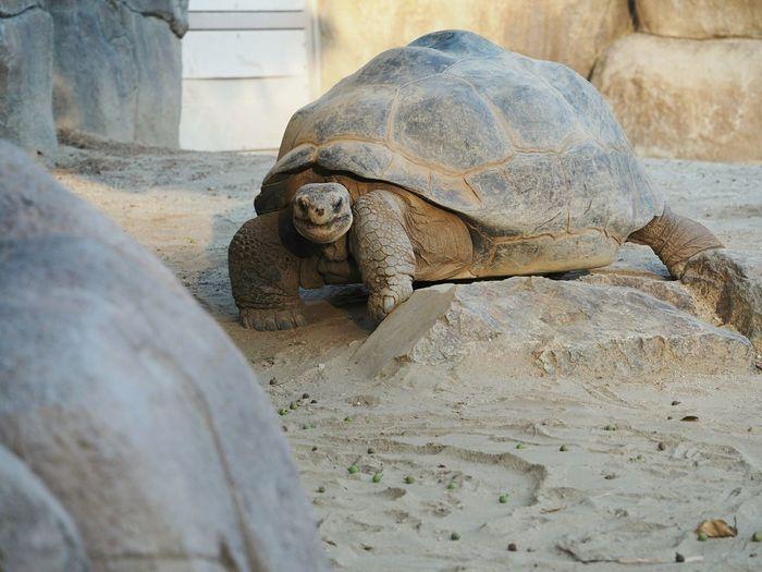 Galapagos giant tortoise on sand