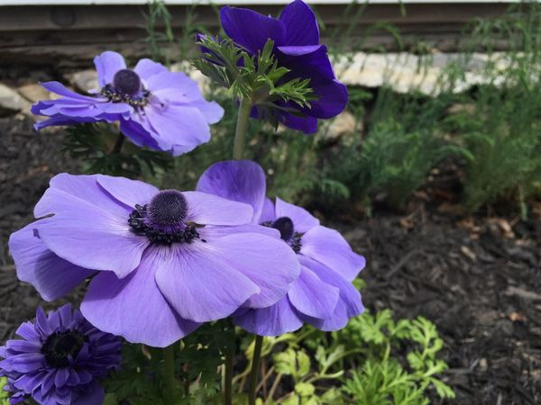 My friend's beautiful anemones. Anemone Anemone Flower Purple Flower Purple Flowers Purple Blue Blue Flowers Nature Botony No Edit/no Filter EyeEm Nature Lover IPhoneography