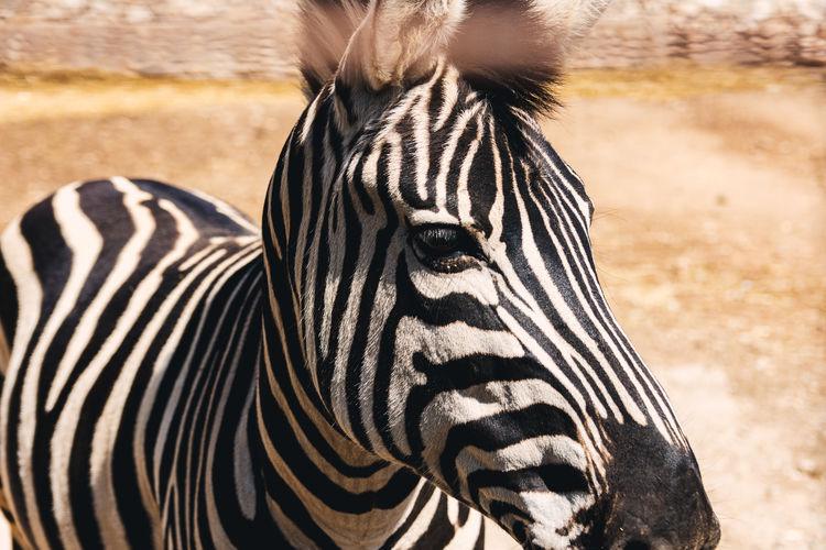 Portrait of an african zebra.