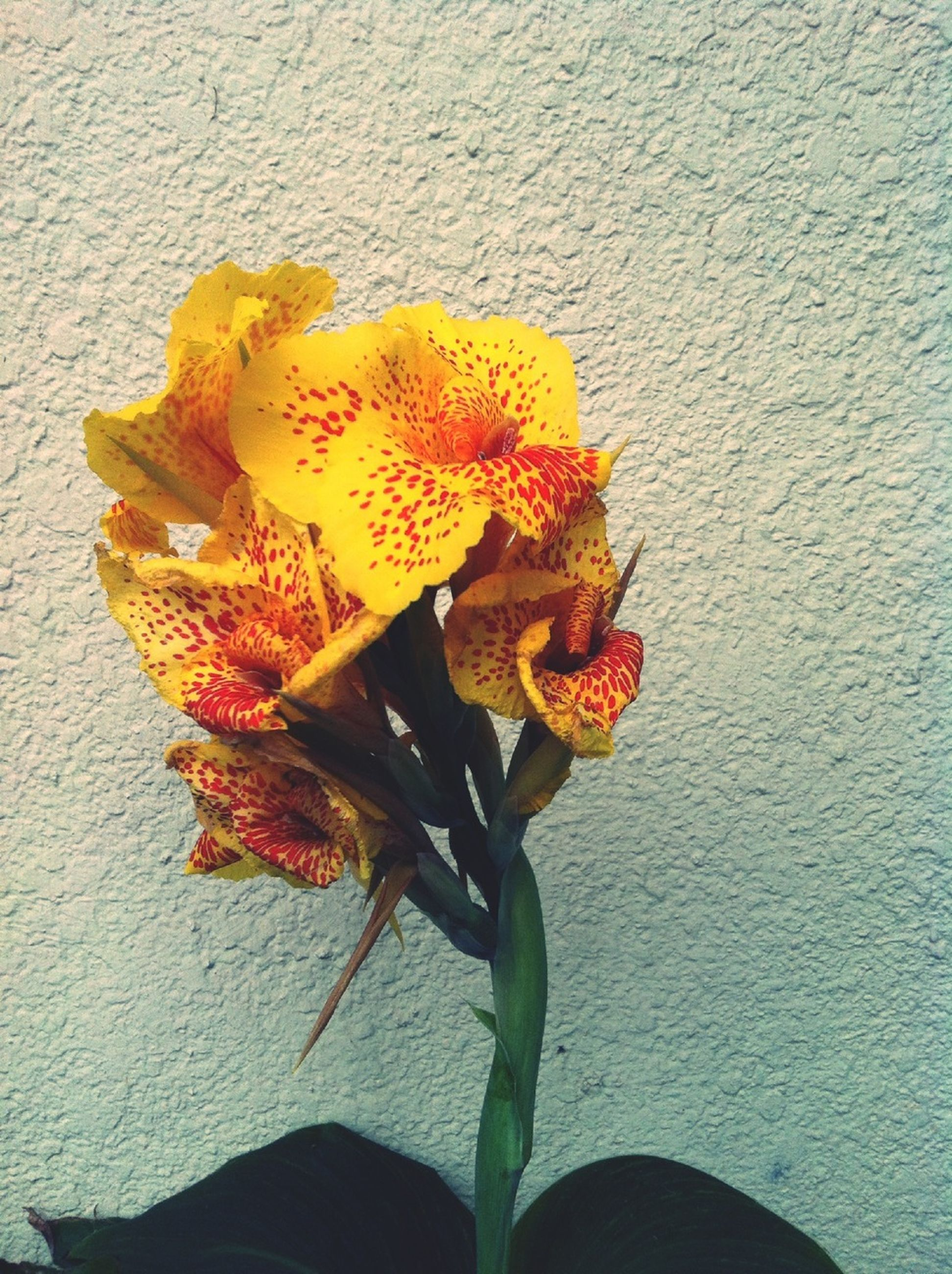 flower, petal, yellow, freshness, fragility, flower head, leaf, wall - building feature, close-up, plant, growth, nature, high angle view, stem, beauty in nature, blooming, single flower, dry, wall, botany