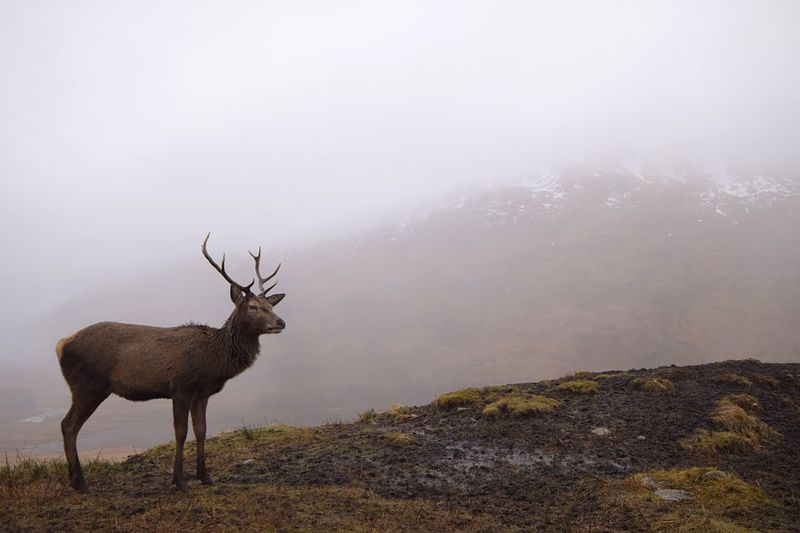 Deer standing on mountain during foggy weather