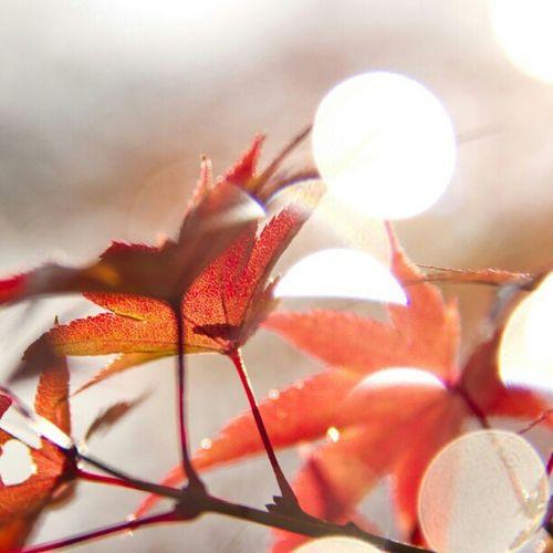 Momiji Bokeh Bokehlovers Clubpirates Nature Autumn Instagram Japanphotography Japan Instamood Stunning Amazing Photooftheday Photowall All_shots Canon Instafamous Instagramhub Red