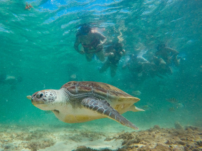 Underwater Sea Animal Wildlife Water Animal Themes Animal Swimming Animals In The Wild Sea Life One Animal Reptile Vertebrate Marine Turtle Nature UnderSea Sea Turtle Fish One Person Turquoise Colored
