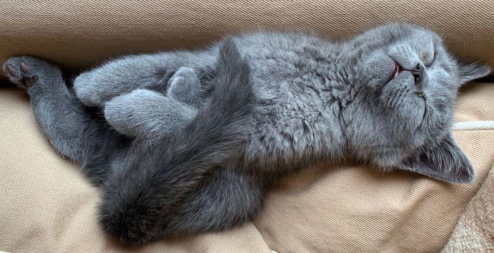 Sweet british short hair kitten sleeping on couch
