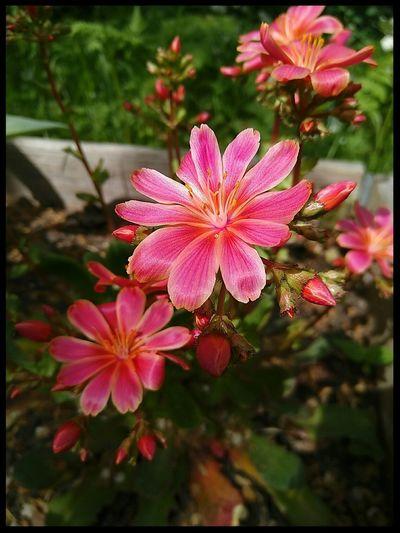 Plants And Flowers Flowering Plant Plant No Filter Blooming Flower Flower Flower Head Lewisia Blooming In Bloom