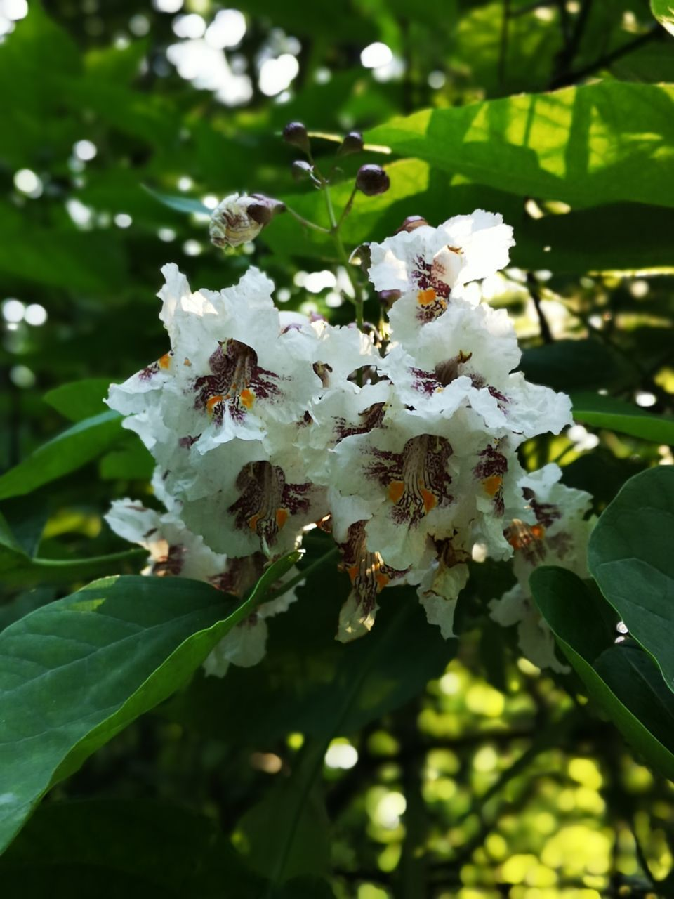 CLOSE-UP OF WHITE FLOWERING PLANT WITH FRESH FLOWERS