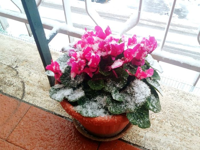 Ciclamino Rome, Italy Roma Snow Flower Flower Head Red High Angle View Window Close-up Plant Potted Plant Petal Cosmos Flower Single Flower Flower Pot
