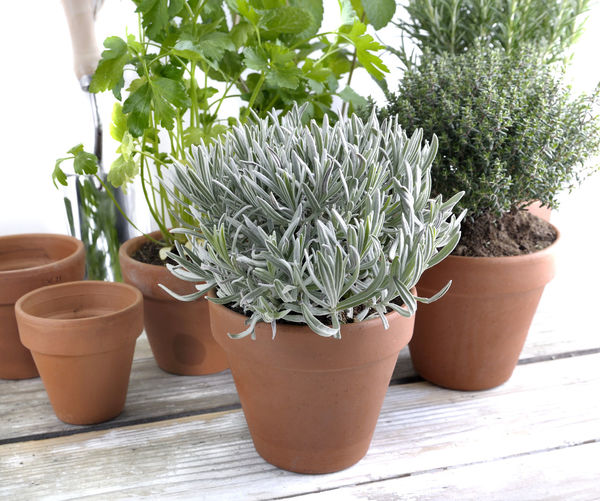 Gardening Herbs Sage Aromatic Botany Flower Pot Green Color Growth Houseplant Leaf Nature Plant Potted Plant Sage Leaves Table Thyme