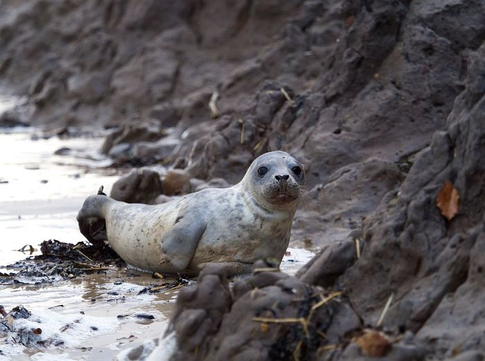 Animals In The Wild Animal Wildlife Seal - Animal One Animal Mammal Animal Themes No People Nature Outdoors Aquatic Mammal Beach Sea Life Close-up