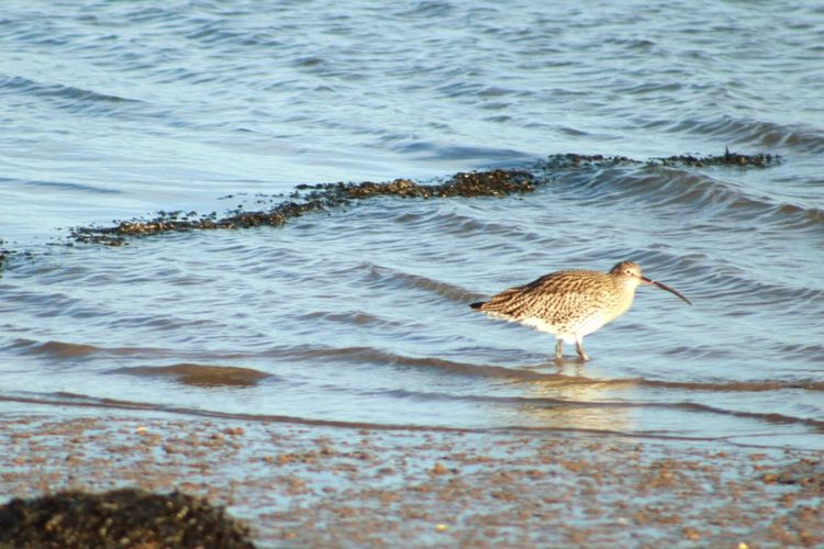 Curlew wading Curlew Bird Animals In The Wild Animal Wildlife Water Beach Sea One Animal Nature No People Outdoors Day Sand