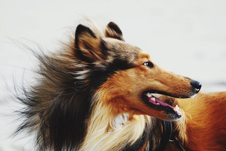 Close-up of rough collie against wall at home
