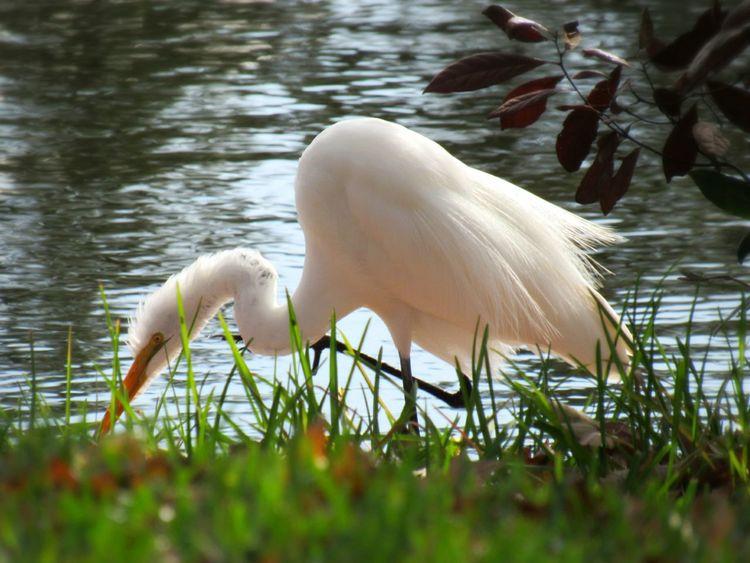Animal Bird Egret Grassy Bank Lake Foliage Lakeside Beauty In Nature Photography