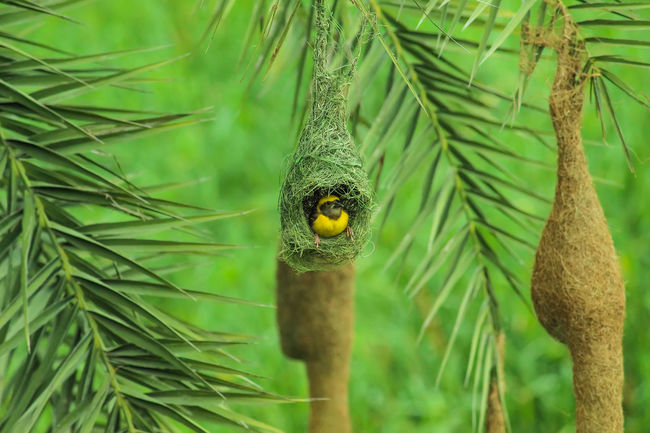 The baya weaver is a weaverbird found across the Indian Subcontinent and Southeast of these birds are found in grasslands, cultivated areas, scrub and secondary growth and they are best bayareaphotography Baya oldman Birds of EyeEm birds bird of prey birds_collection Birds🐦⛅ Bird Photography Birdwatching EyeEm Selects The Great Outdoors - 2018 EyeEm Awards love ♥ lov Weaver Weaverbird Weaverbird Nest Weaver Bird Weavers Weaver Birds Nesting Bird In Nest Baya Bird Baya Weaver Bayareaphotography Baya Birds Of EyeEm  Birds Bird Of Prey Birds_collection Birds🐦⛅ Bird Photography Birdwatching EyeEm Selects Love ♥ Portrait Tree Looking At Camera Close-up Green Color EyeEmNewHere