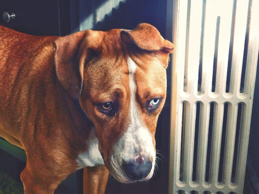 ❤️ Pitbull Love Hello World EyeEm Best Shots Eye Em Animals Nikon Nikonphotography Nikoncoolpix Focus